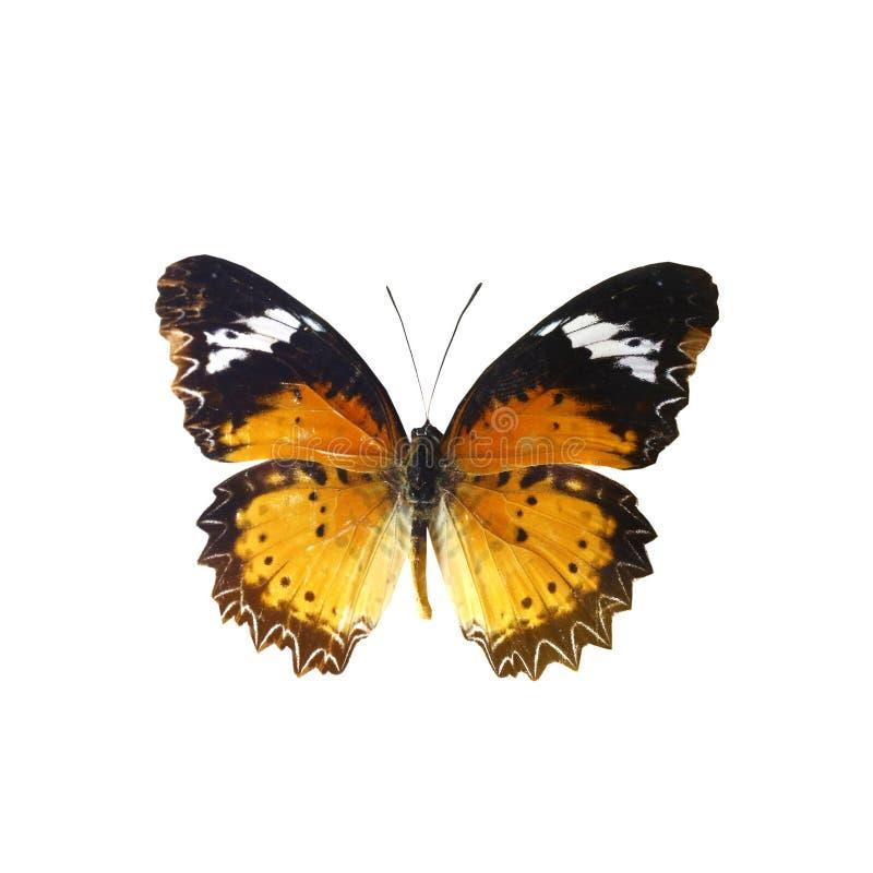 Farfalla variopinta isolata su bianco fotografie stock libere da diritti