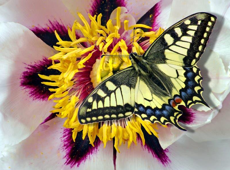 farfalla variopinta luminosa sui fiori Fiori 14 i bei fiori della peonia si chiudono su fotografia stock