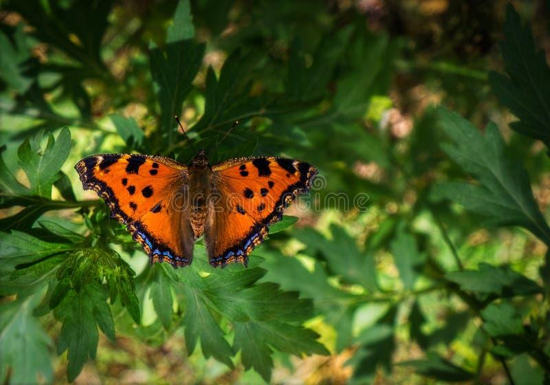 Farfalla variopinta su una pianta verde Sorvoli i fiori fotografia stock