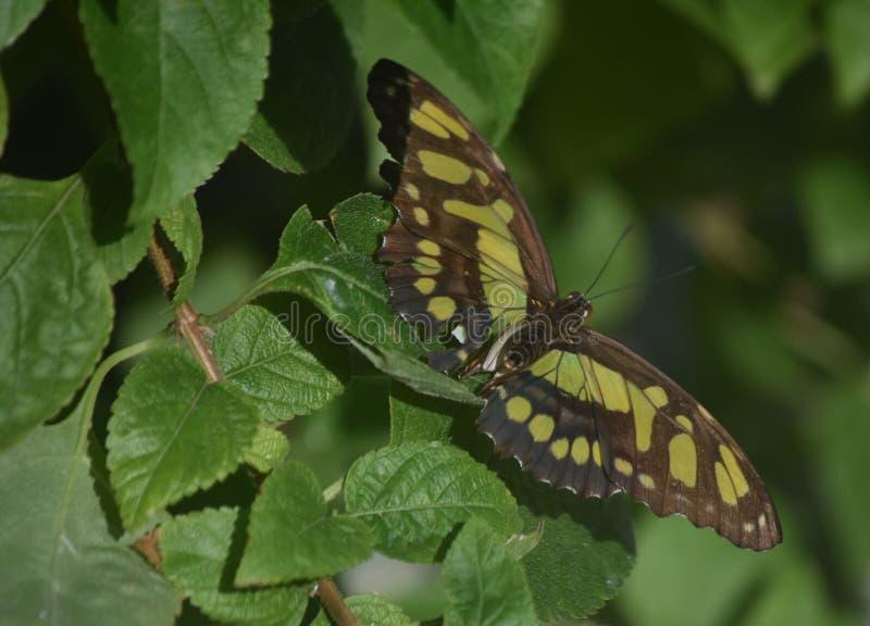 Farfalla verde e nera della malachite in un giardino fertile immagini stock