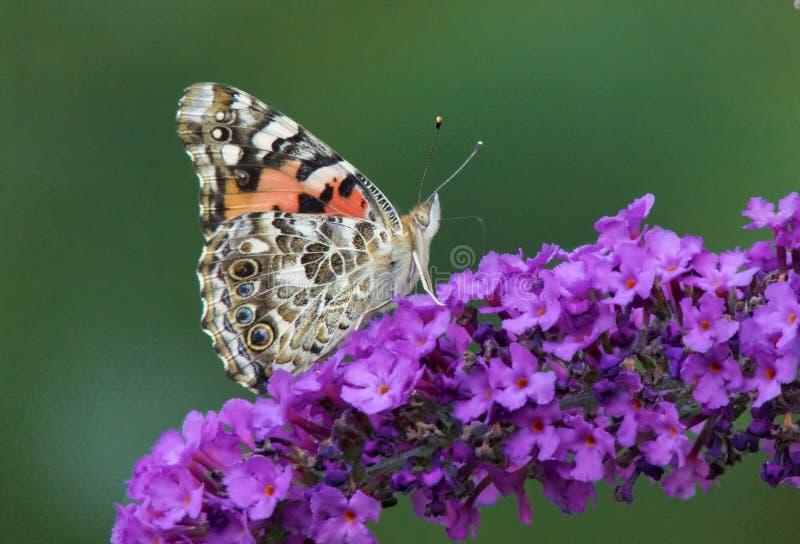 farfalla verniciata della signora immagini stock