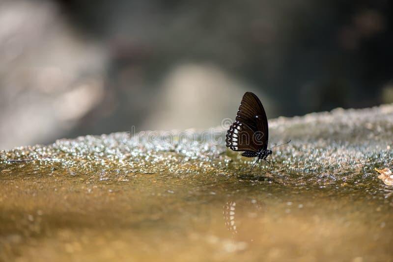 Farfalla vetrosa blu della tigre fotografia stock