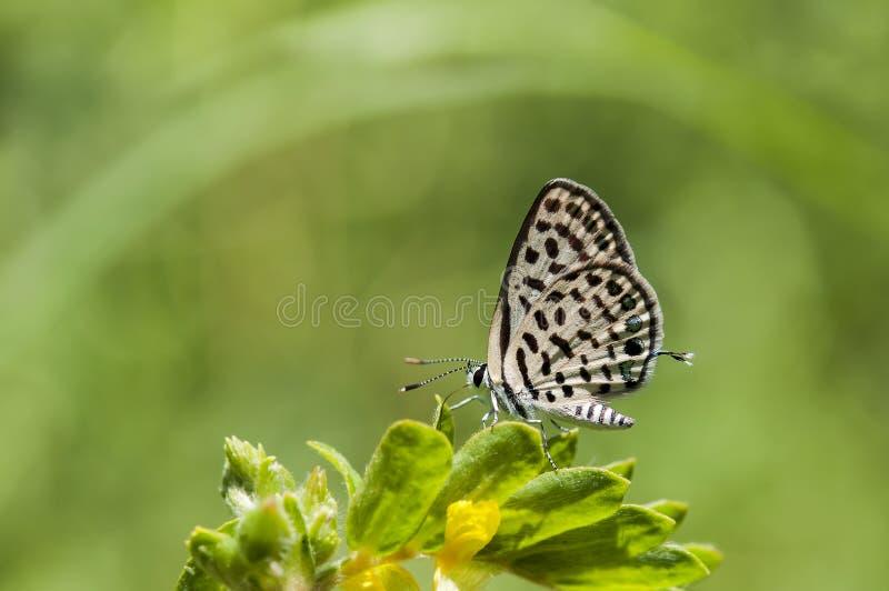 Farfalla vicina su del pierrot Spotted fotografia stock libera da diritti
