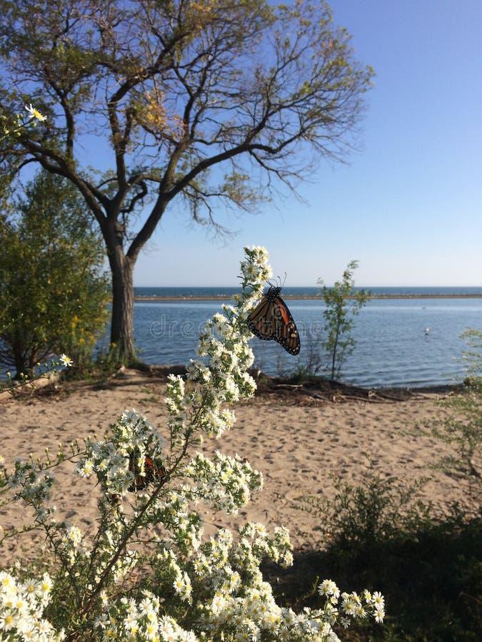 Farfalla vicino al lago ontario nel Canada fotografia stock libera da diritti
