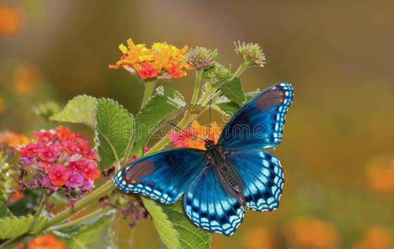 Farfalla viola macchiata rossa dell'ammiraglio sul Lantana fotografie stock libere da diritti