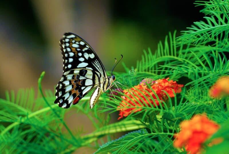 Farfalla viva di volo fotografie stock