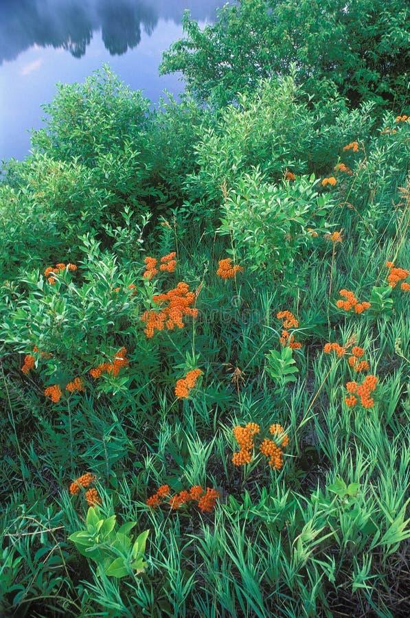 Farfalla Weed immagini stock