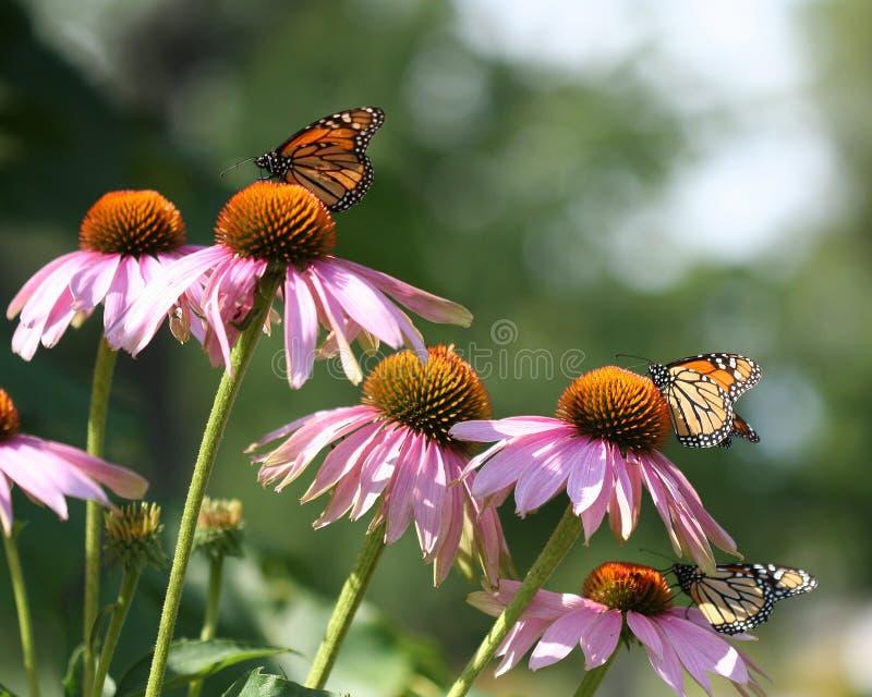 Farfalle immagini stock