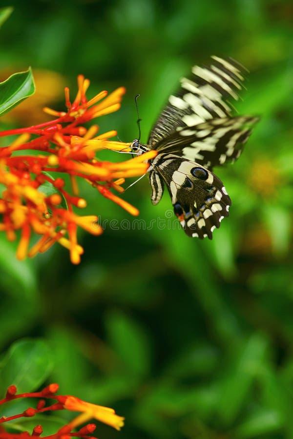 Download Farfalle fotografia stock. Immagine di nave, insetti, colore - 7321618