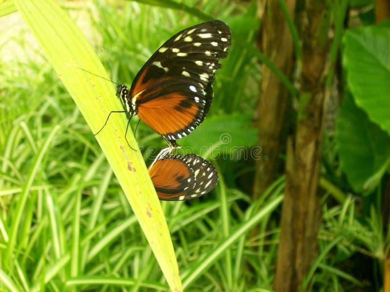 farfalle fotografie stock libere da diritti