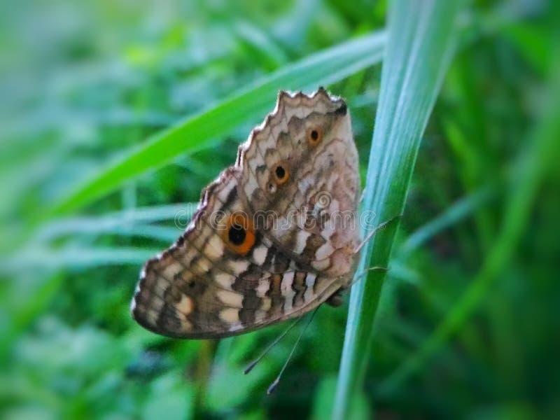 farfalle immagini stock libere da diritti