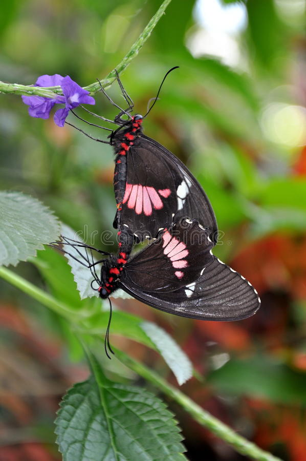 Farfalle accoppiamento del cuore del bestiame fotografia stock libera da diritti