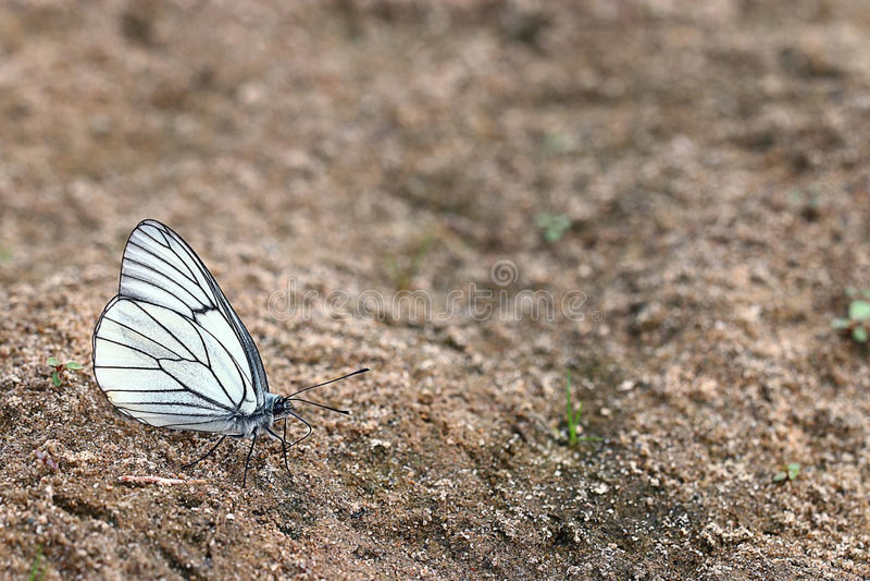 Download Farfalle Bianche Sulla Sabbia Immagine Stock - Immagine di biologia, parco: 55361899