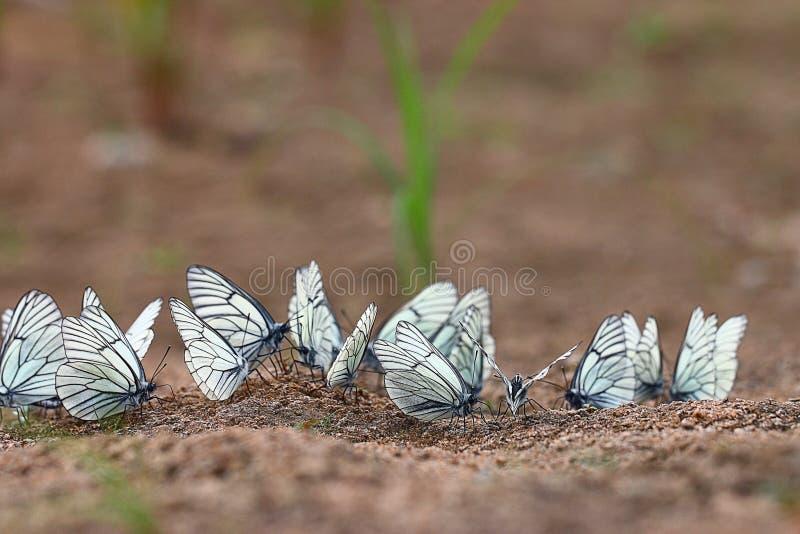 Download Farfalle Bianche Sulla Sabbia Fotografia Stock - Immagine di nave, parco: 55362024