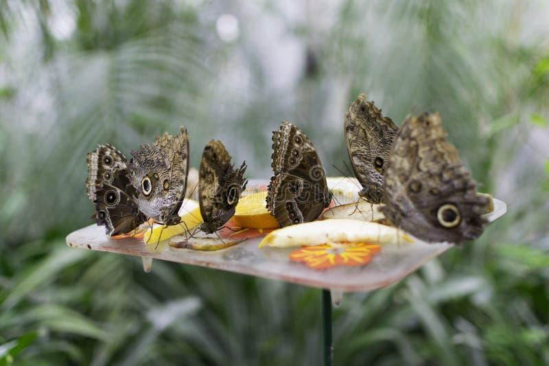 Farfalle che mangiano frutta fotografia stock