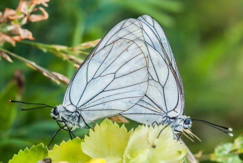Farfalle di adulazione, coppia, farfalla sulle piante, fine su fotografia stock