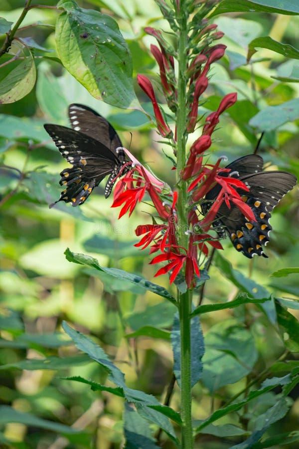 Farfalle di coda di rondine di Spicebush e cardinale Wildflowers fotografia stock libera da diritti