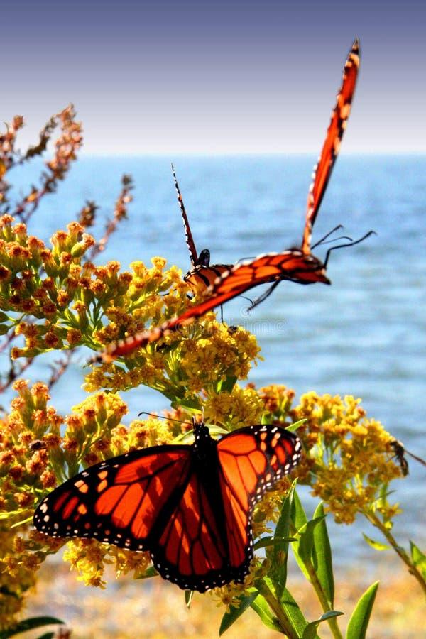 Farfalle di Dancing fotografie stock