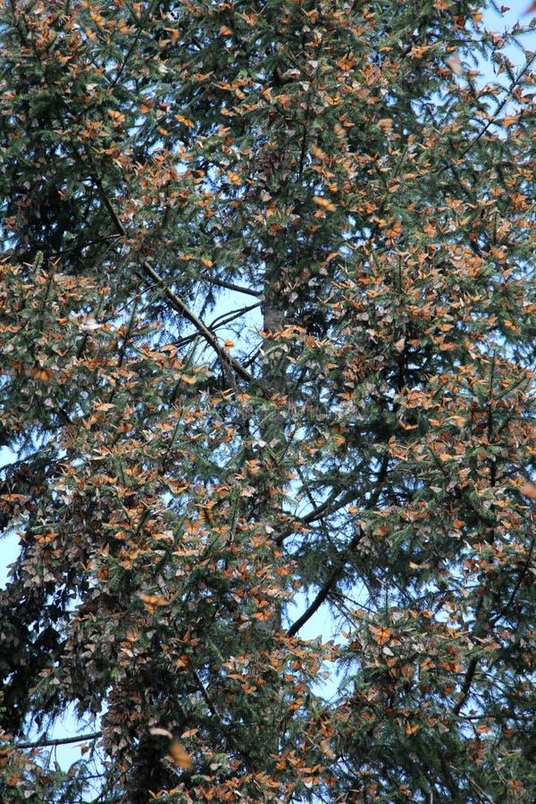 Farfalle di monarca immagine stock