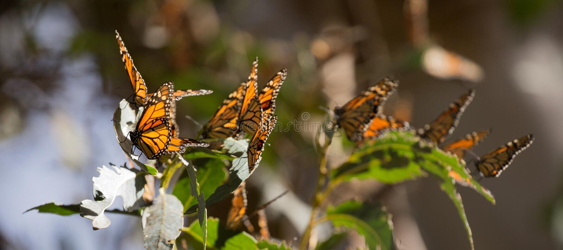 Farfalle di monarca (plexippus del Danaus) fotografie stock libere da diritti