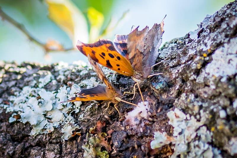 Farfalle di tempo di Texas Spring che bevono le essudazioni da una quercia fotografia stock libera da diritti