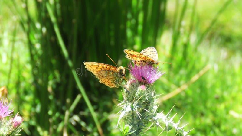 Farfalle in fiore fotografia stock libera da diritti