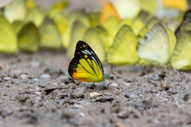 Farfalle fuori del gruppo fotografia stock