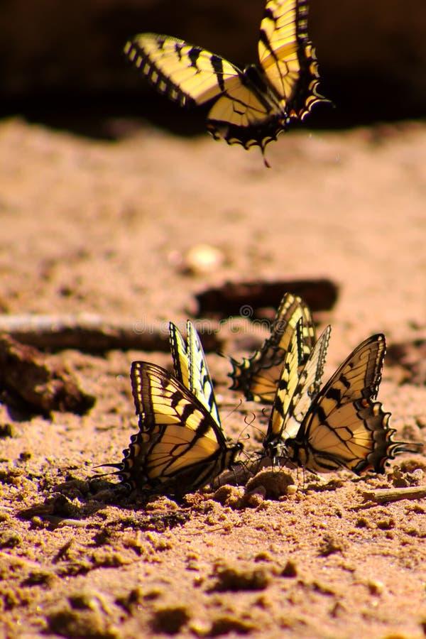 Farfalle gialle sulla terra. immagine stock