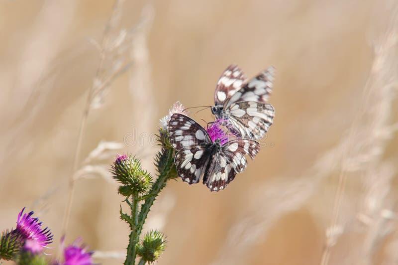 Farfalle sul cardo selvatico fotografie stock libere da diritti