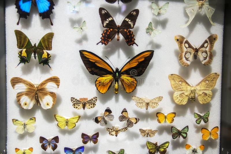 Farfalle in un caso al museo di storia naturale, Boston, Massachusetts di Harvard immagini stock