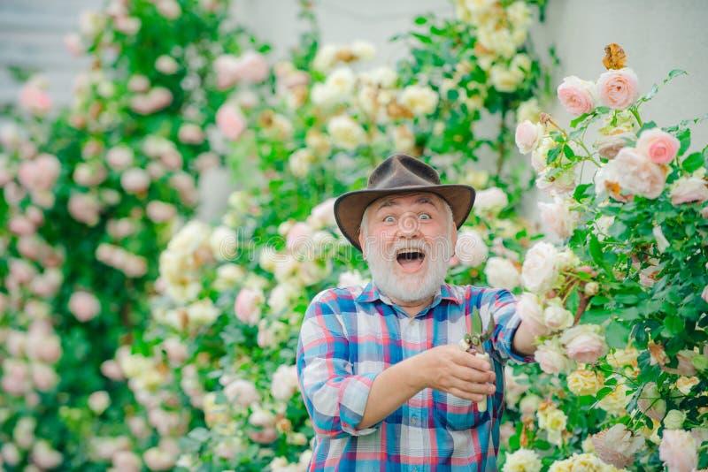 Farfar i härlig trädgård plantera f?r blommor farfar H?g man som arbeta i tr?dg?rden i tr?dg?rd Yrkesmässig trädgårdsmästare på arkivfoto