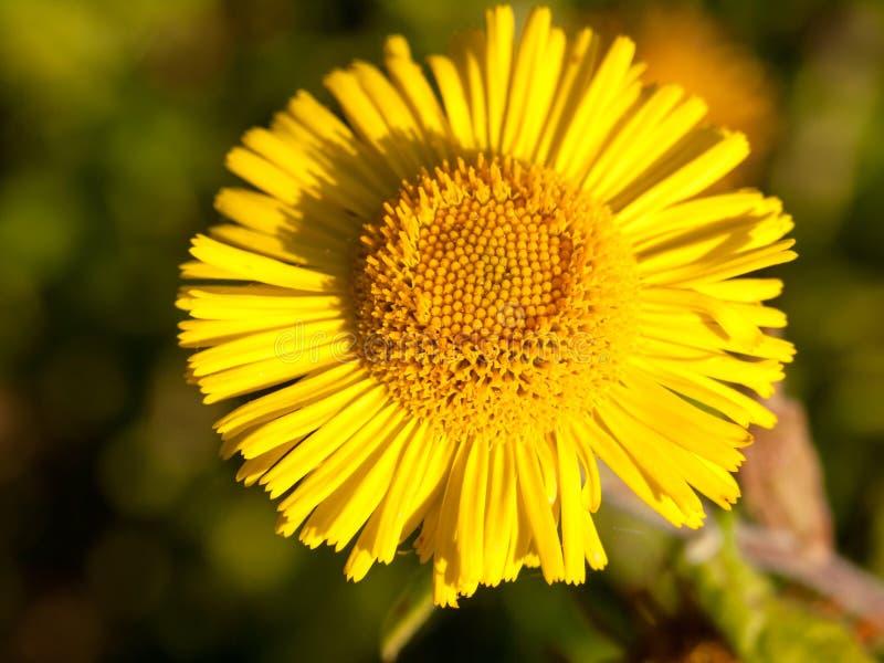 Farfara amarelo do Tussilago do pé do ` s do potro do verão um fim foto de stock