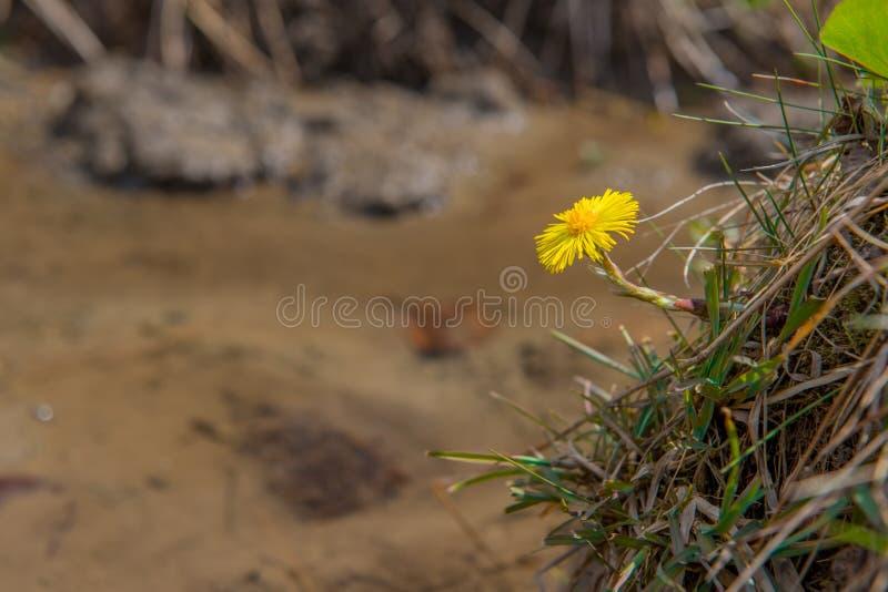 Farfara die van Coltsfoottussilago vroeg in de lente bloeien Gele bloem natuurlijke achtergrond met aardige vage achtergrond en g stock foto's
