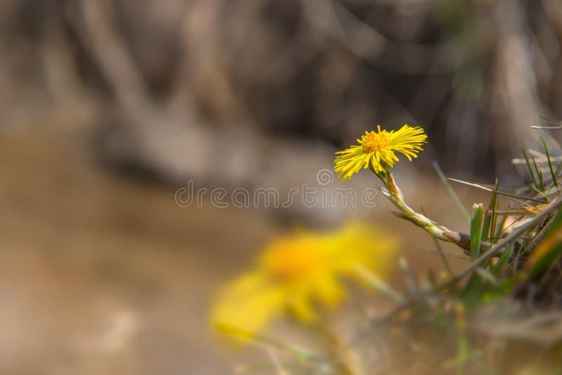 Farfara die van Coltsfoottussilago vroeg in de lente bloeien Gele bloem natuurlijke achtergrond met aardige vage achtergrond en g stock foto