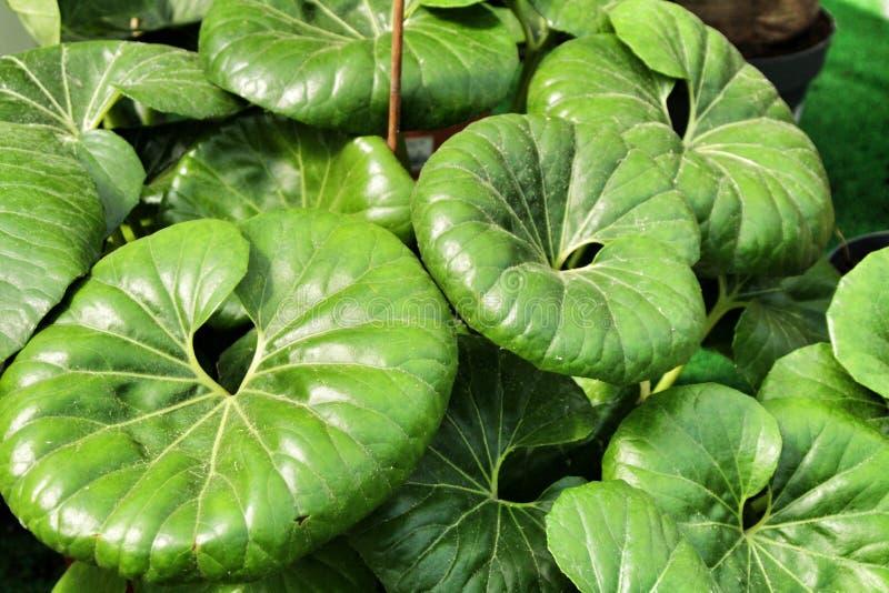 Farfugium Japonicum rośliny w ogródzie w wiośnie obrazy royalty free