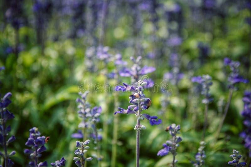 Farinacea Benth Salvia Мучнистый шалфей чашки; Красивое, ярко покрашенный и выделяющийся польностью зацветая белые фиолетовые цве стоковое изображение
