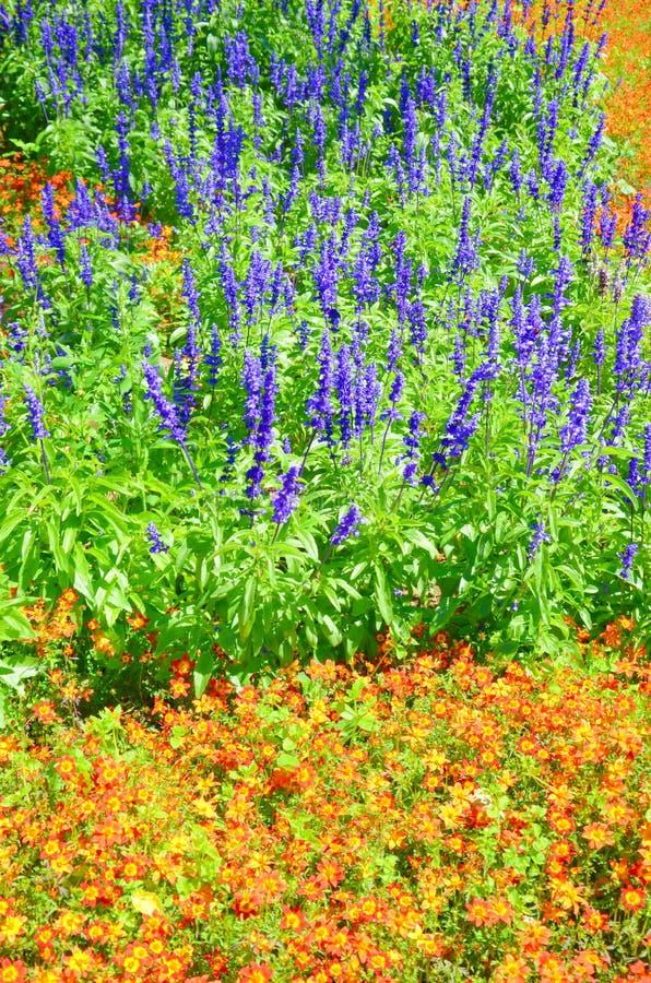 Farinacea floreciente de Salvia, conocido también como sabio harinoso rodeado por las flores amarillas anaranjadas brillantes fotografía de archivo libre de regalías