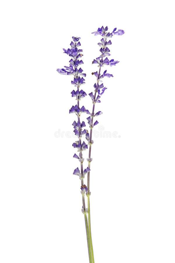 Farinacea Salvia, голубое salvia, мучнистый шалфей чашки или мучнистый шалфей цветут зацветать, изолированный на белой предпосылк стоковые изображения