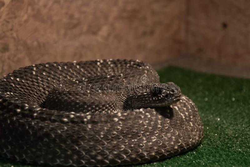 Farlig giftig orm i terrariumen - västra diamantskallerorm royaltyfria bilder