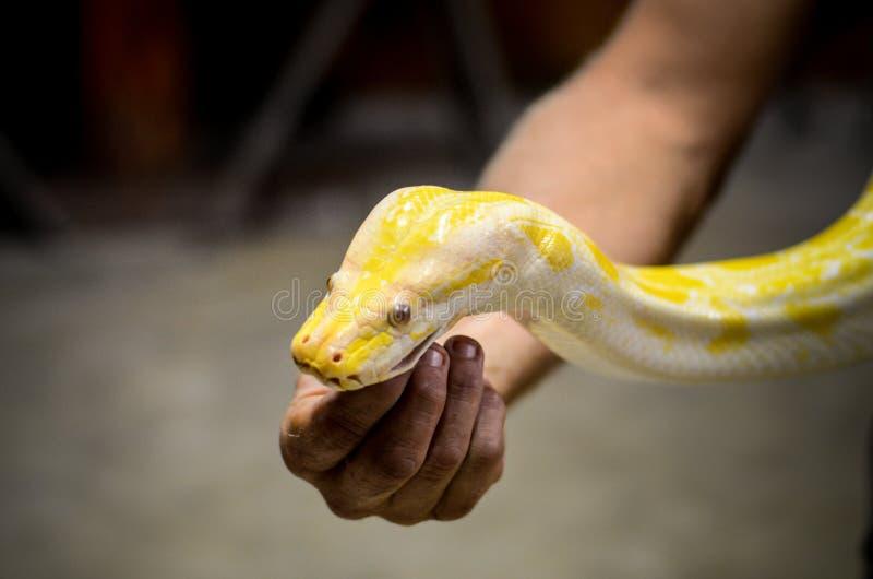 Farlig gul orm arkivfoton