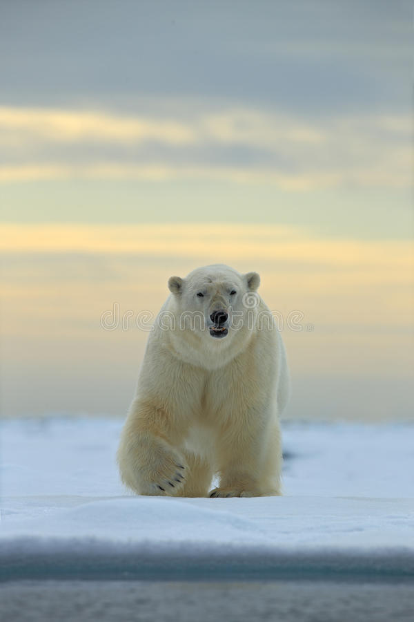Farlig seende isbjörn på isen i Svalbard royaltyfri fotografi