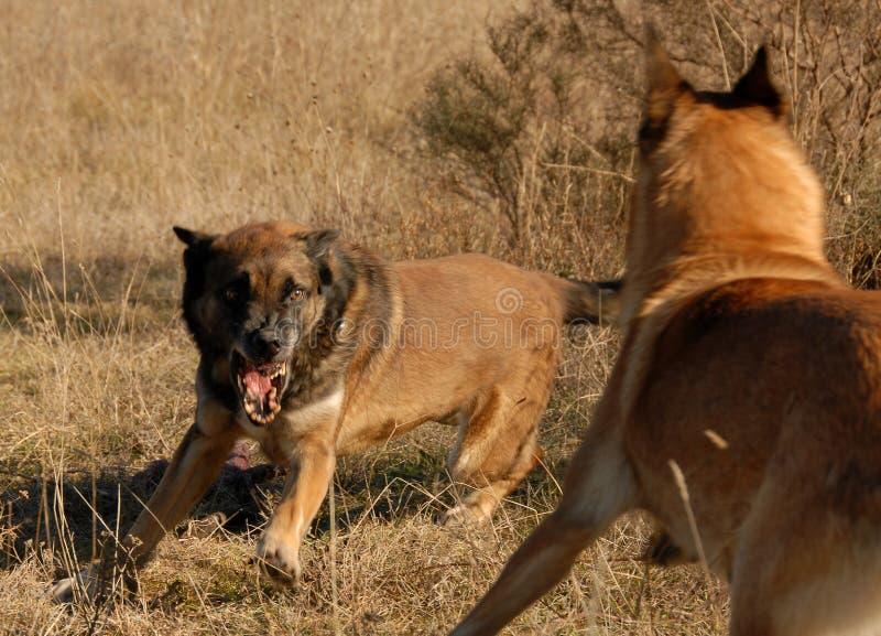 farliga hundar två royaltyfri bild