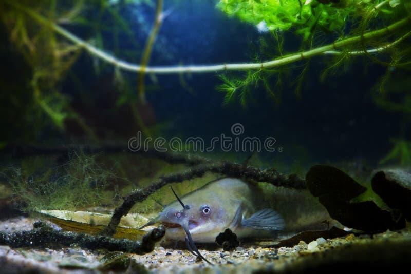 Farliga och aggressiva rovdjur Kanalkungsfiskar, Ictalurus punctatus i europeisk biotopaqua från sötvatten arkivbild
