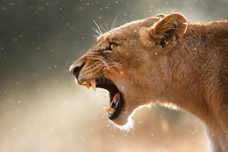 farliga visande lionesständer arkivbild