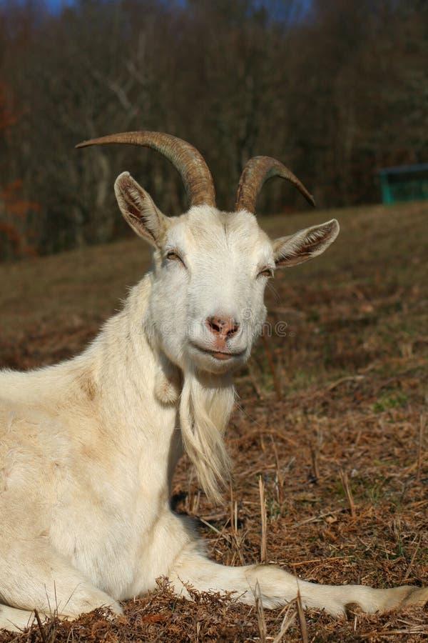 Download Farm animal stock photo. Image of furry, domestic, animal - 2143946