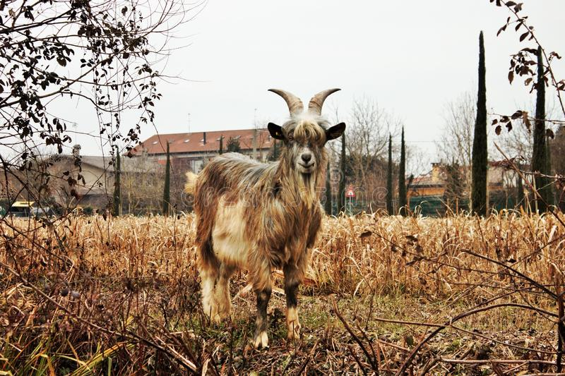 Farm animal, goat. The domestic goat is the domesticated descendant of the Aegean of Asia Minor and Eastern Europe. The male specimen is called beak, goat stock photography