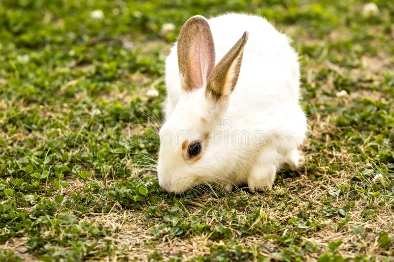Farm animal. little white rabbit Oryctolagus cuniculus sitting on the green grass royalty free stock photo