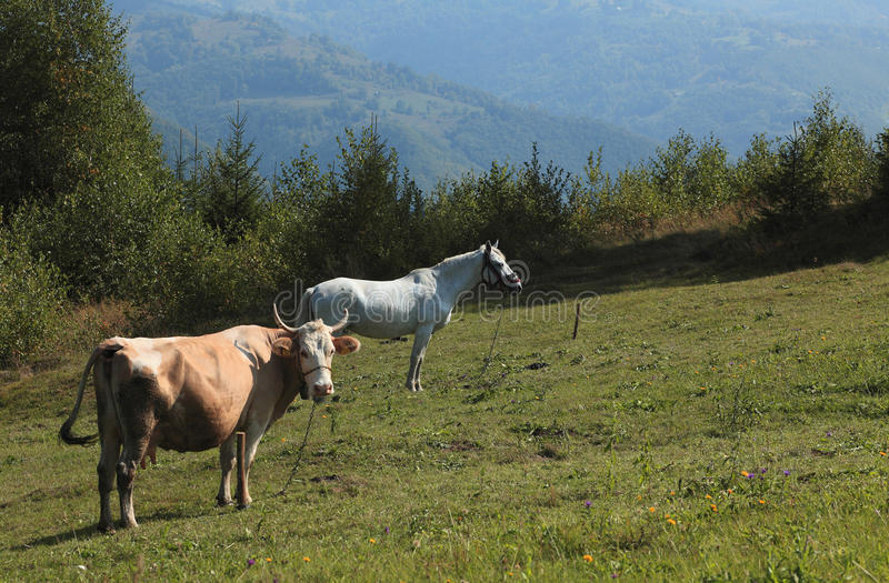 Download Farm animals stock photo. Image of hills, horns, hide - 11364500