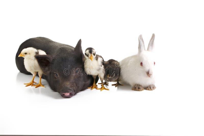 Farm animals royalty free stock photography