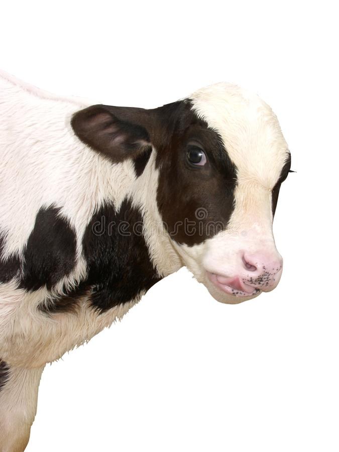 Farm Animals - Calf cow isolated on white background stock images